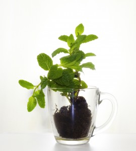 Refreshing and Stimulating Mint