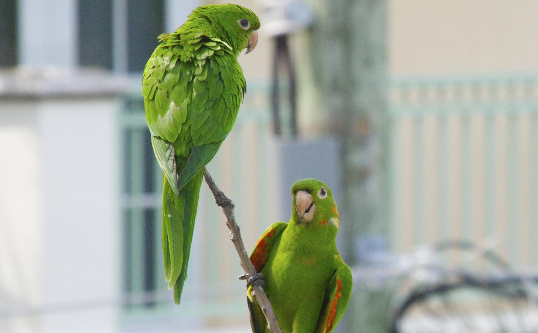 The Wild Green Parrots of Miami Beach u2013 TRAVELLING BANANA