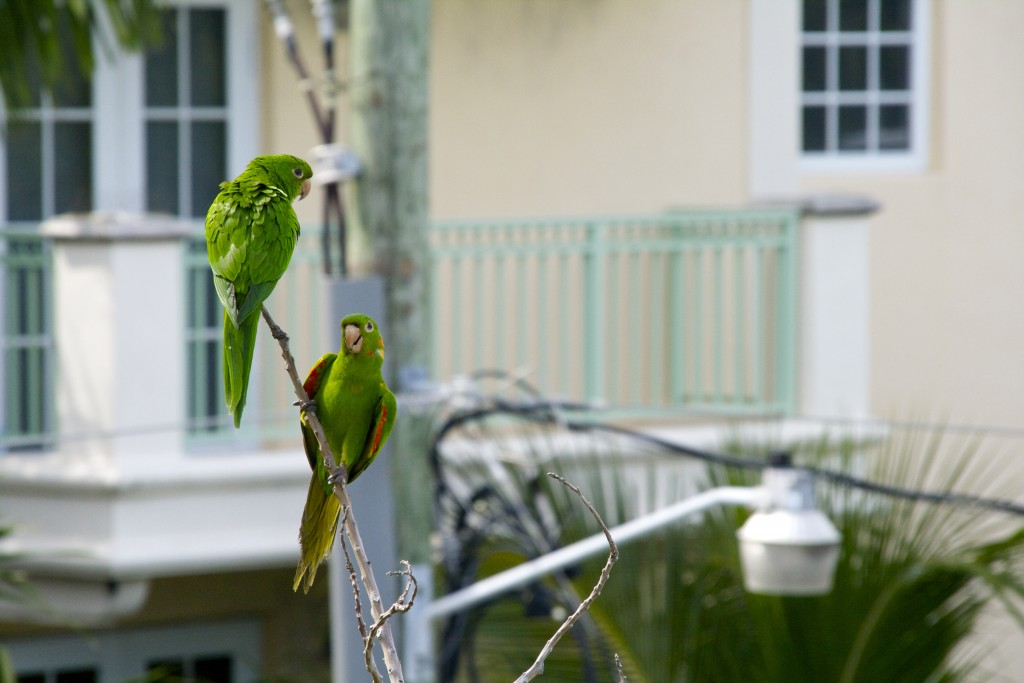 Two Mitred Parakeets chilling out together but keeping an eye on what I'm up to.