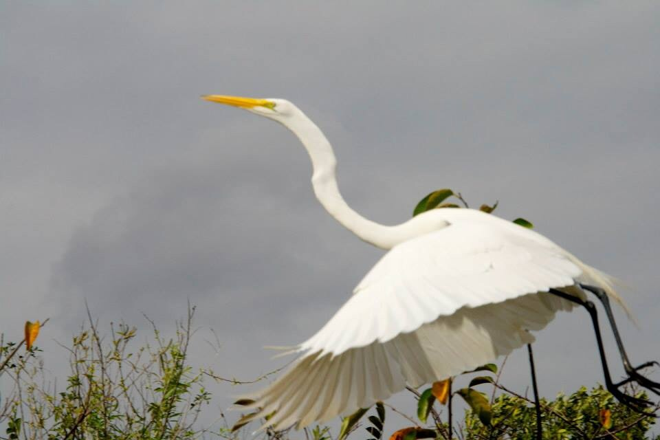 A heron in the everglades taking off into the sky