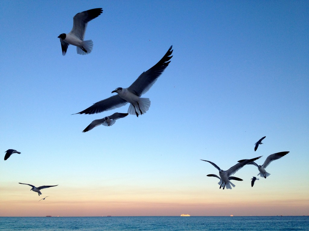 Seagulls flying mid-air on Miami Beach