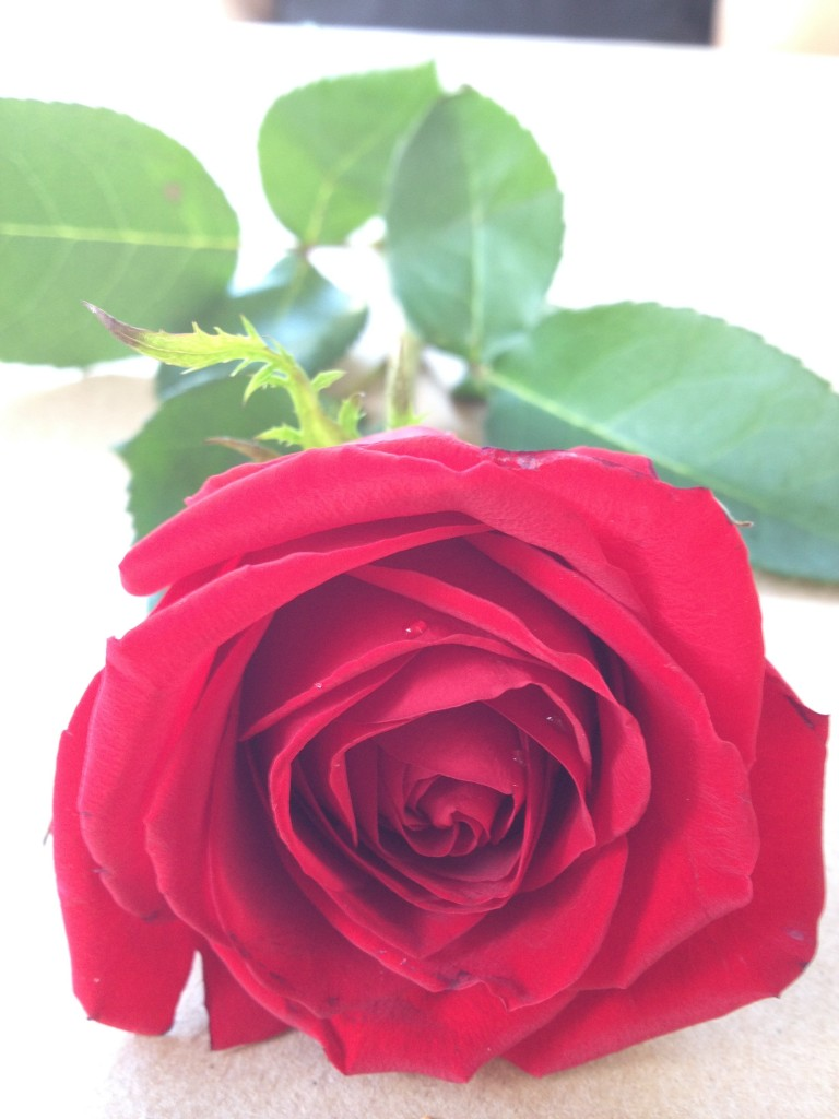 A picture of my sweet smelling rose