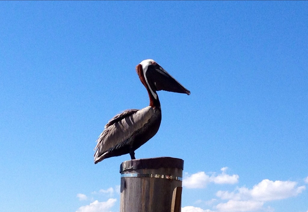 A pelican having a rest by the Miami Beach Marina