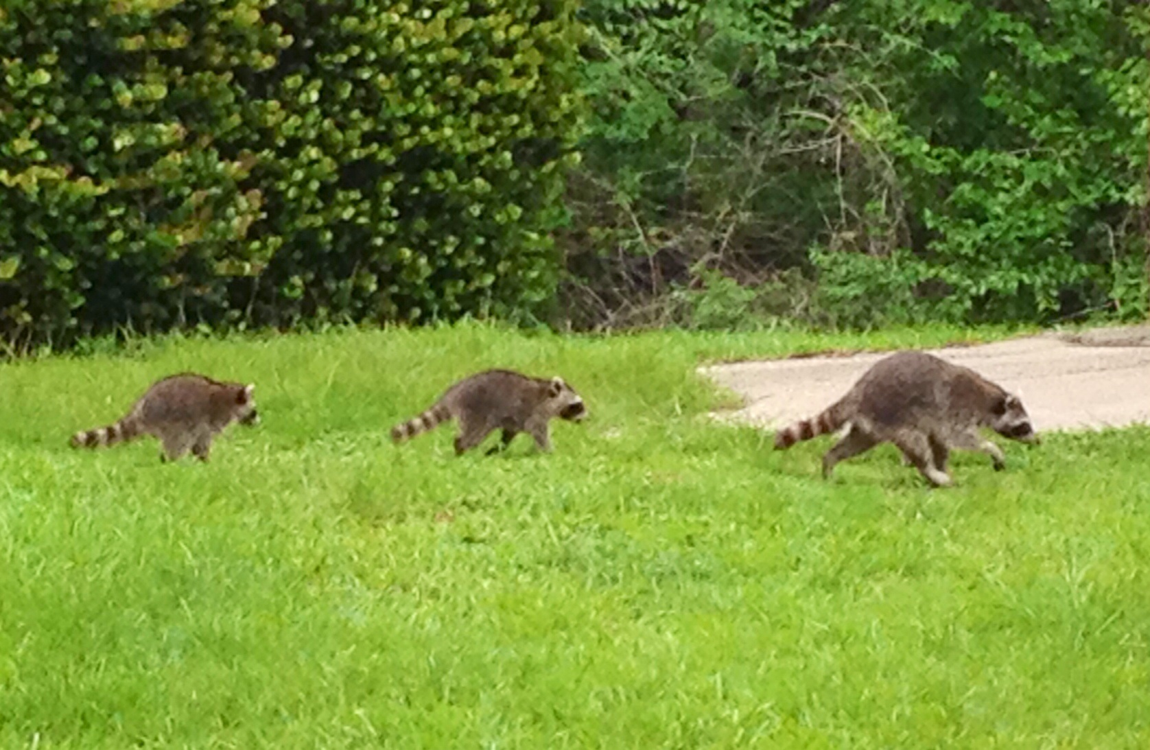 Three Racoons out for a stroll in Matheson Hammock Park, FL