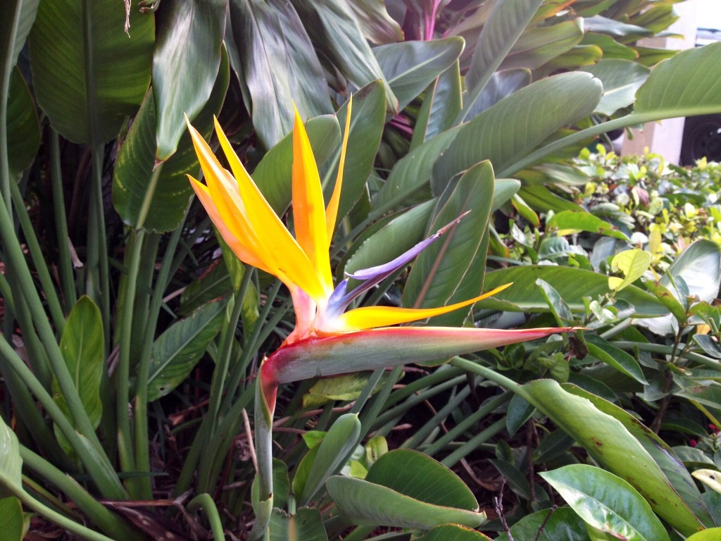 The Bird of Paradise flower is an interesting shape and has a very vibrant orange color.